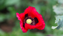 InSight Crime: Mexico Publishes Poppy Cultivation Data for First Time