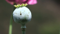 "LATimes: In Mexico, illicit ""poppy"" gardens feed U.S demand for heroin"