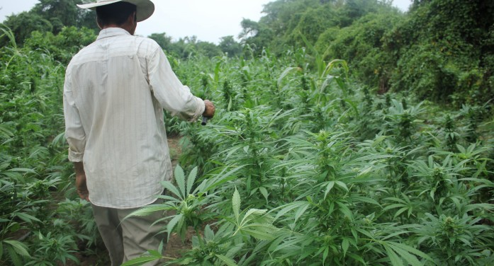 LATimes: Mexican marijuana farmers see profits tumble as U.S. loosens laws